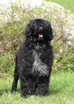 First Lady Michelle Obama tells People magazine she is considering a Portuguese Water Dog for the family dog in April.