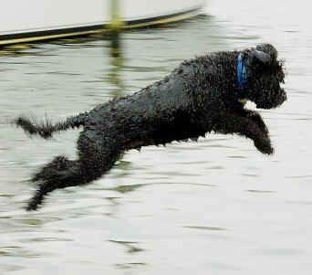 Τι προτερήματα έχει ο Portugese Water Dog;